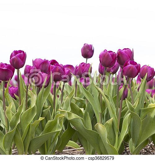 closeup of purple tulips in dutch flower field - csp36829579