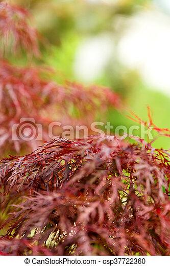 closeup of red maple - csp37722360