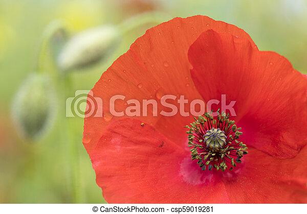 closeup of red poppy flower in green summer field - csp59019281