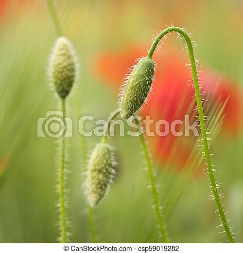 closeup of red poppy flower in green summer field - csp59019282