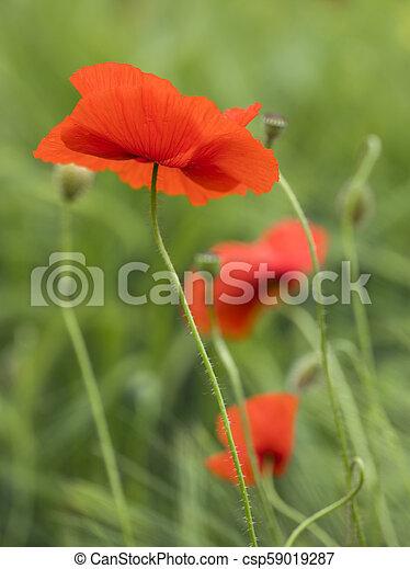 closeup of red poppy flower in green summer field - csp59019287