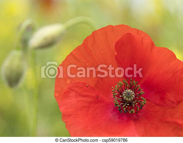 closeup of red poppy flower in green summer field - csp59019786