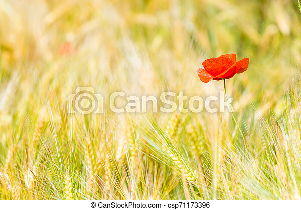 closeup of red poppy flower in yellow wheat field - csp71173396