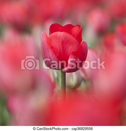 closeup of red tulip in dutch flower field amongst other tulips - csp36829556
