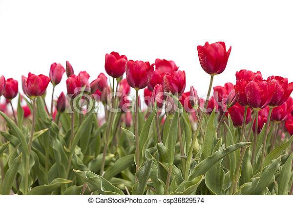 closeup of red tulips in dutch flower field - csp36829574