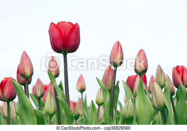 closeup of red tulips in dutch flower field - csp36829560