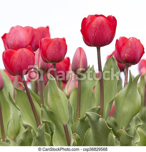 closeup of red tulips in dutch flower field - csp36829568