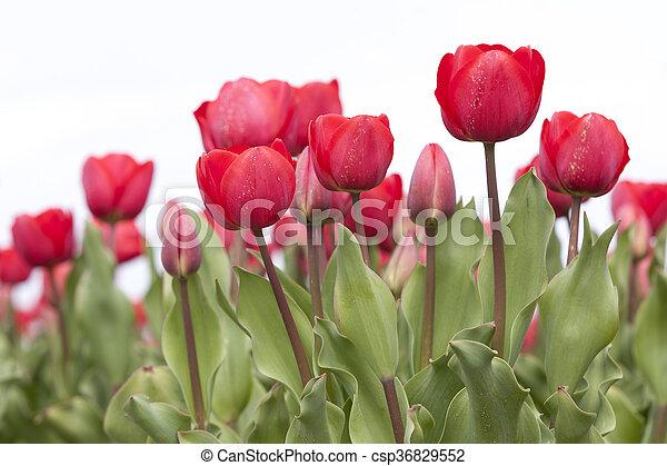 closeup of red tulips in dutch flower field - csp36829552