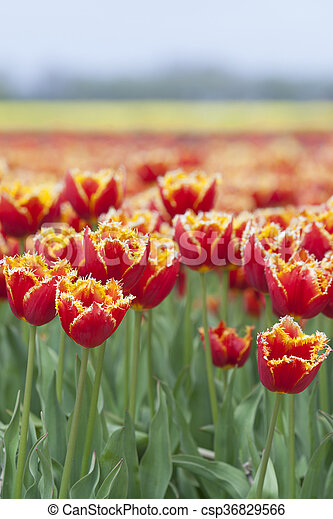 closeup of red tulips with yellow brim in dutch flower field - csp36829566