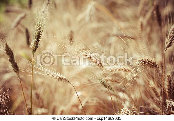 Closeup of ripe wheat - csp14669635