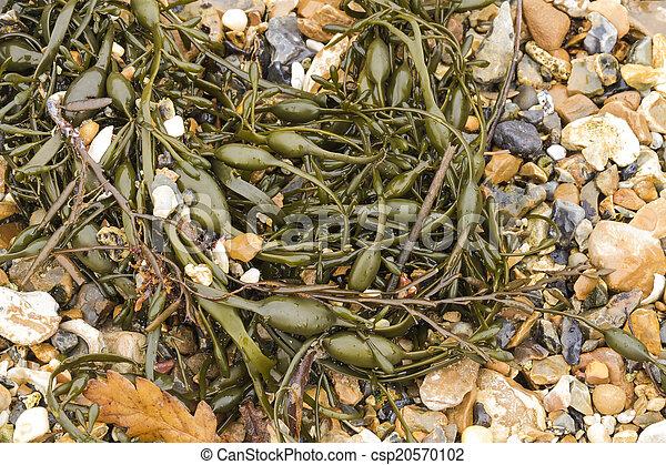Closeup of seaweed Ascophyllum nodosum, commonly egg wrack. - csp20570102