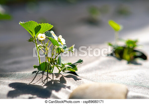 Closeup of small green strawberry plants with white flowers growing outdoors in summer garden. - csp89680171