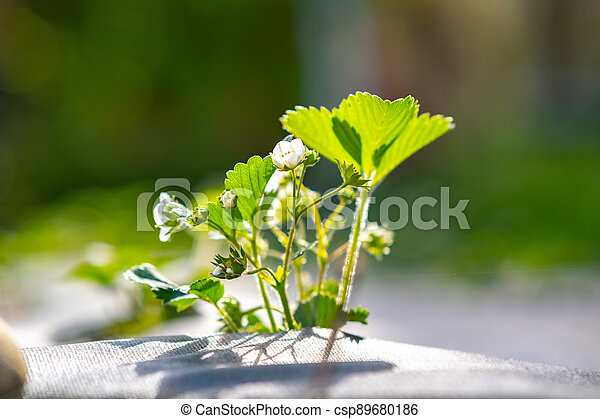 Closeup of small green strawberry plants with white flowers growing outdoors in summer garden. - csp89680186