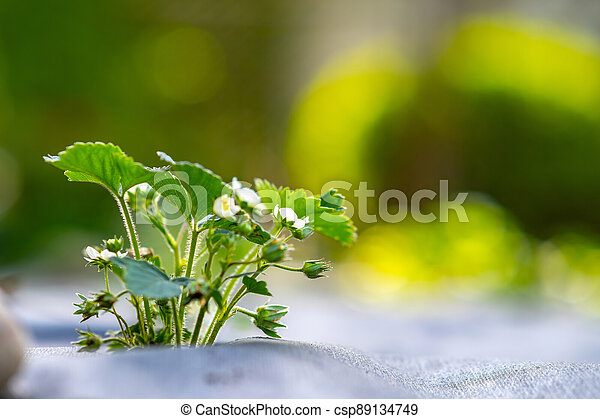 Closeup of small green strawberry plants with white flowers growing outdoors in summer garden. - csp89134749