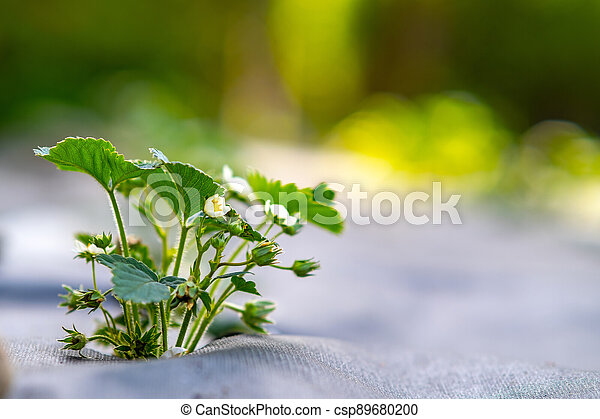 Closeup of small green strawberry plants with white flowers growing outdoors in summer garden. - csp89680200