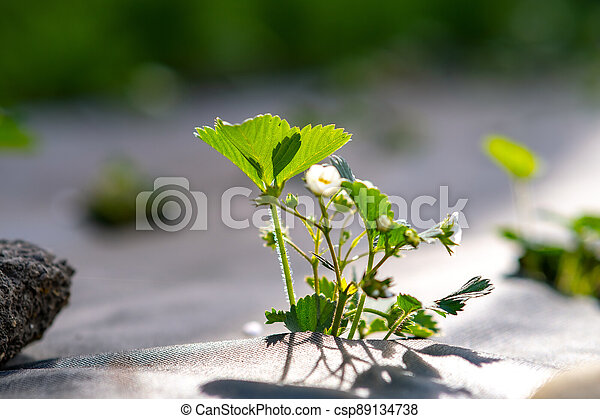 Closeup of small green strawberry plants with white flowers growing outdoors in summer garden. - csp89134738