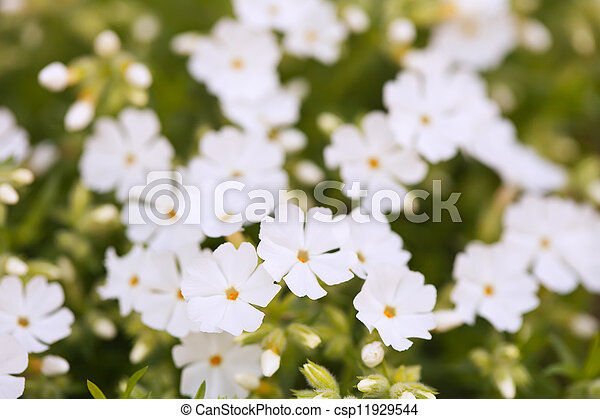 Closeup of small white flowers - csp11929544