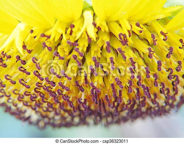Closeup of sunflower - csp36323011