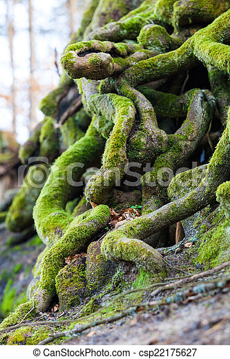 Closeup of tangled tree roots covered with green moss - csp22175627