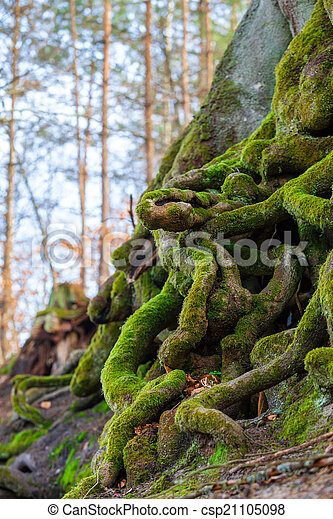 Closeup of tangled tree roots covered with green moss - csp21105098