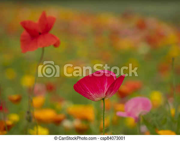 Closeup of two poppies in a mixed flower meadow - csp84073001