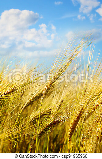 Closeup of wheat field with sunny blue sky - csp91965960