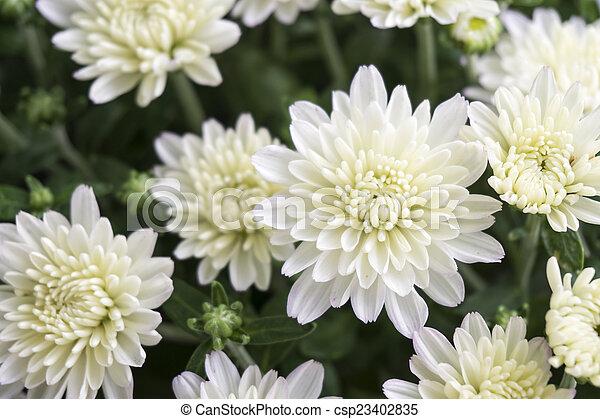 Closeup of white chrysanthemum flower in field closeup of white chrysanthemum flower csp23402835 mightylinksfo