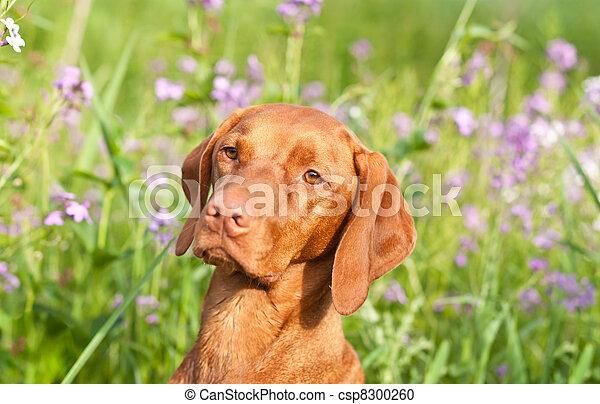 Closeup Portrait of a Vizsla Dog with Wildflowers - csp8300260