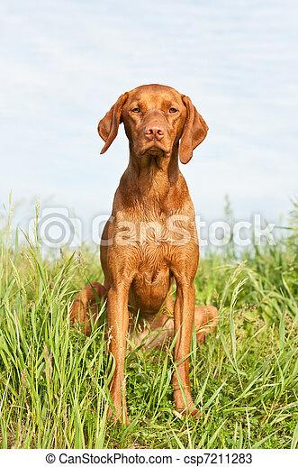 Closeup Portrait of a Vizsla Dog with Wildflowers - csp7211283