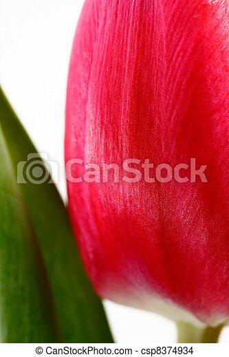 closeup portrait view of tulip with stem - csp8374934