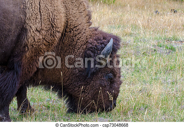 Closeup Profile of an Americab Bison grazing in Yellowstone National Park - csp73048668