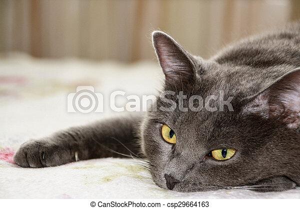Closeup short hair gray cat - csp29664163
