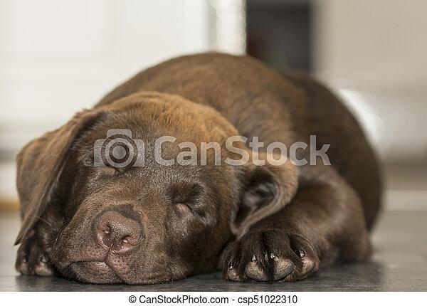 Closeup view of a sleeping Chocolate Labrador puppy - csp51022310