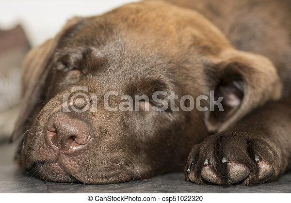 Closeup view of a sleeping Chocolate Labrador puppy - csp51022320