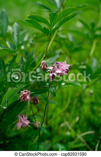 Closeup view of pink bluebell flowers - csp82931590