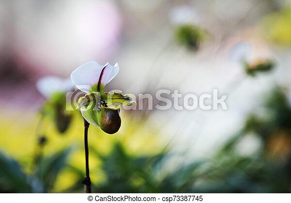 Closeup white pink Paphiopedilum orchid in the garden. - csp73387745