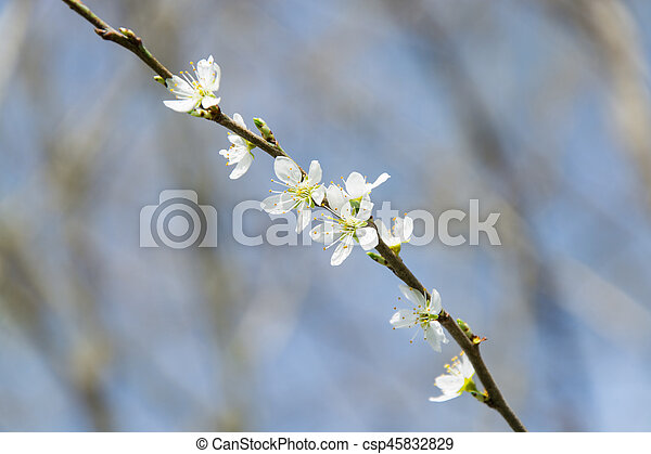 Clouseup of white plum flower spring blossom clouseup of white plum flower csp45832829 mightylinksfo