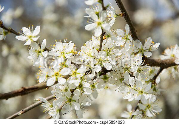 Clouseup of white plum flower spring blossom clouseup of white plum flower csp45834023 mightylinksfo