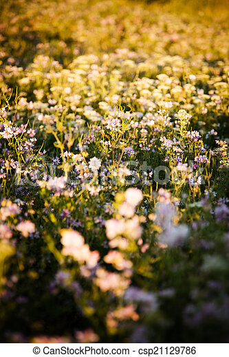 clover flowers in rays of the evening sun - csp21129786