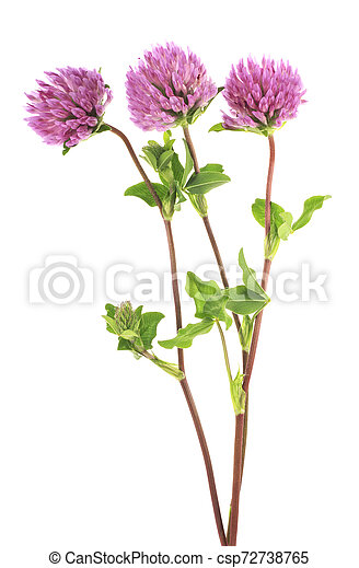 Clover Flowers On A Stem With Green Leaves White Background Canstock