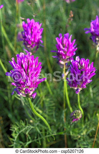 Purple Clover Flowers On Background Of Grass An Image With Shallow