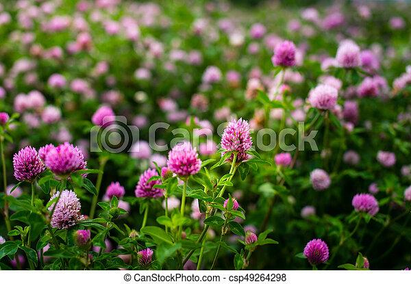 Clover flowers trifolium pratense outside in a field purple clover flowers trifolium pratense outside in a field csp49264298 mightylinksfo