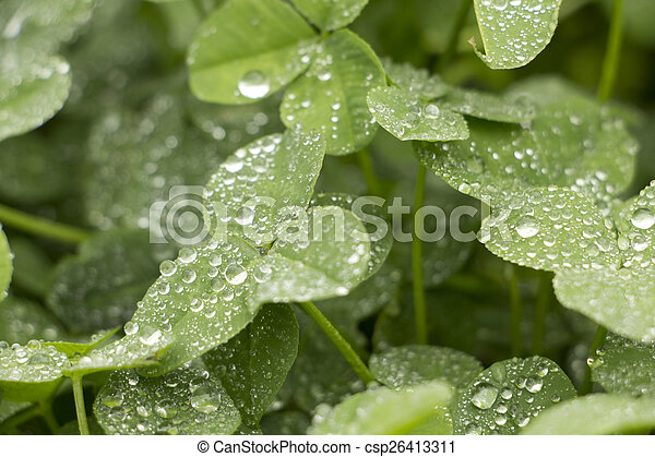 Clover with dew - csp26413311