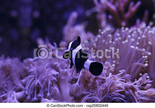 Clownfish in Coral garden - csp25802449