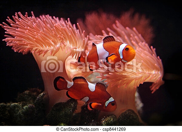 clownfishes - csp8441269