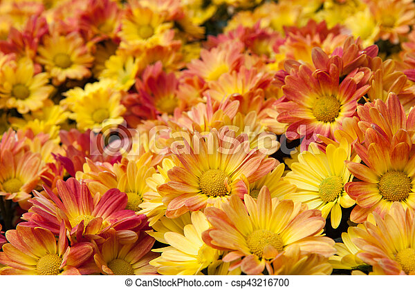 Cluster of bright yellow flowers numerous bright yellow daisies cluster of bright yellow flowers csp43216700 mightylinksfo