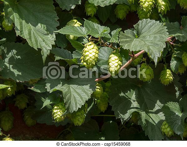 Cluster of Hops - csp15459068