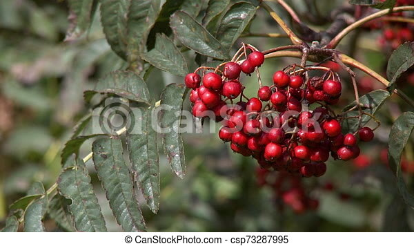 Cluster Of Small Red Berries On A Tree A Bunch Of Small Red