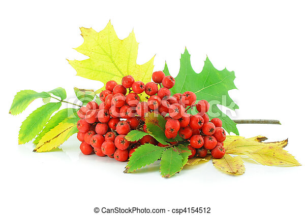 cluster of wild ash with leaves autumn still life - csp4154512