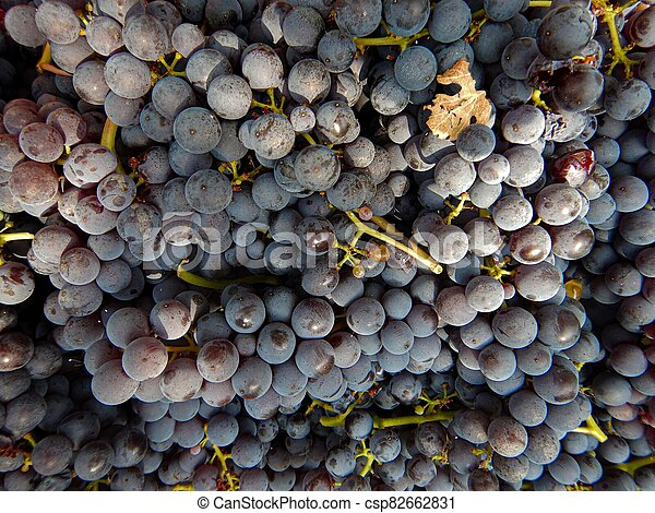 Clusters of Nebbiolo grapes in the Langhe, Piedmont - Italy - csp82662831